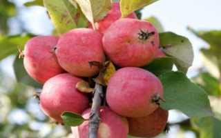 Выращивание яблони пепин шафранный