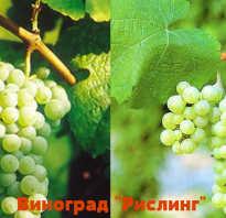 Характеристика винограда рислинг