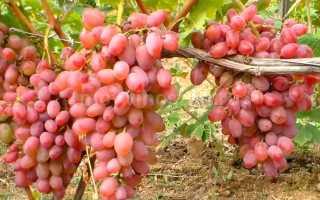 Гелиос что за виноград