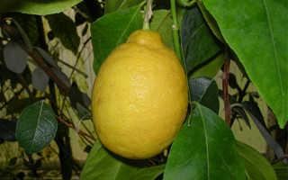 Характеристика новогрузинского лимона
