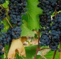 Виноград в сибири выращивание и уход весной