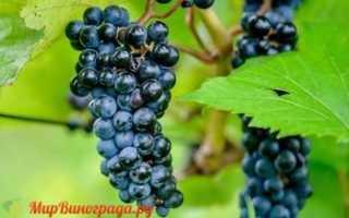 Виноград маршал фош описание сорта фото