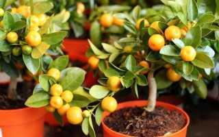 Прививание мандаринового дерева