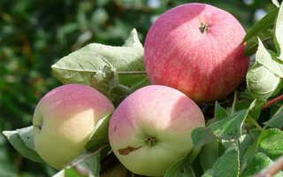 Мельба яблоня характеристика