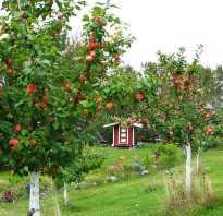 Расстояние между колоновидными яблонями при посадке