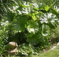 Размножение астильбоидеса возможно семенами и делением корневища