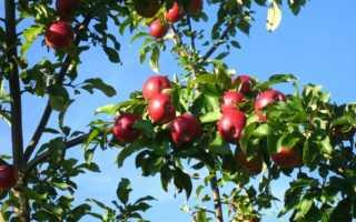 Сорт яблони коваленковское описание фото