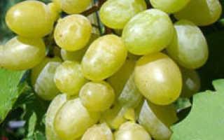 Выращивание сорта винограда илья