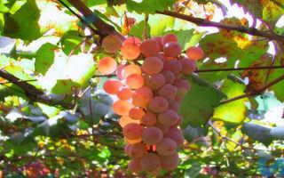 Применения железного купороса для винограда в осенний период