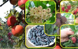 Ежевика садовая сорта описание