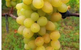 Сорт винограда плевен дитя солнца и ума