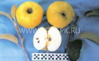 Кальвиль снежный сорт яблок