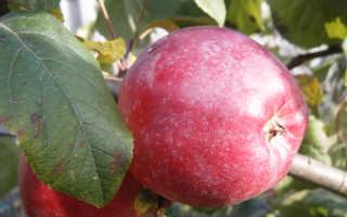Характеристика яблони либерти