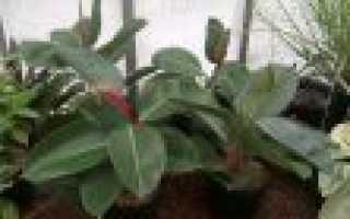 Как посадить фикус черенками