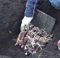 Особенности выращивания винограда весной метод посадки черенков в грунт