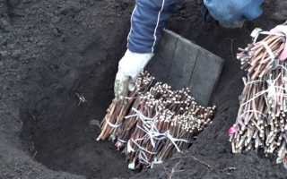 Технология посадки винограда черенками без корней