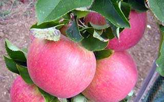 Лучшие сорта яблонь для волгоградской области