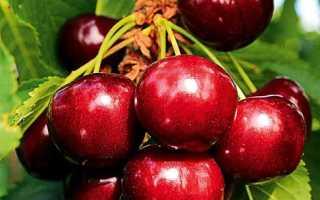 Период созревания вишни в средней полосе росии