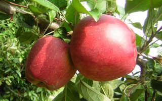 Сорт яблок ред делишес