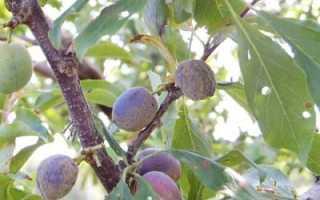 Причины загнивания сливы на дереве