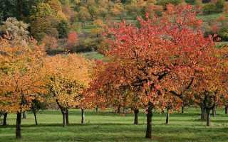 Уход за вишней осенью