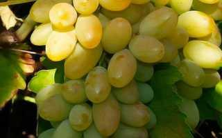 Описание сорта винограда тимур