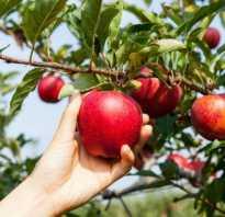 Формирование кроны яблони осенью