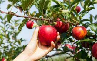 Как обрезать яблони осенью схема