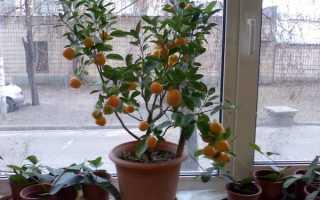 Выращивание апельсинового дерева