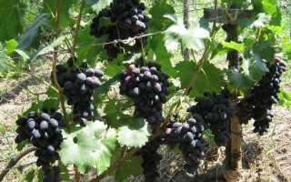 Описание и тонкости ухода за виноградом сорта забава