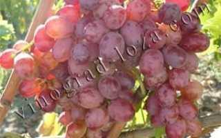 Характеристика винограда скарлет