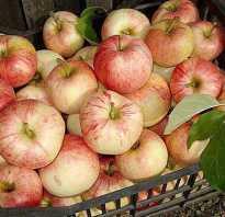 Выращивание яблони конфетное