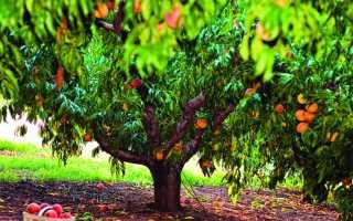 Правила обрезки персика