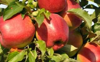 Характеристика и описание сорта яблони лигол