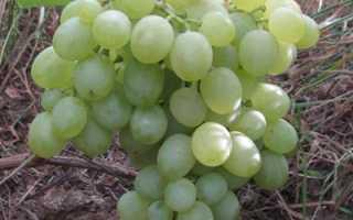 Виноград белое чудо описание сорта и его особенности