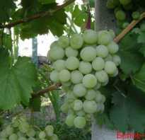Белое чудо чем популярен сорт этого винограда
