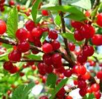Описание войлочных сортов вишни