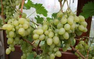 Особенности сорта винограда настя