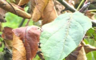 У яблони вянут листья а потом засыхают что делать