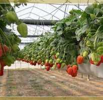 В чем преимущества тепличного выращивания клубники