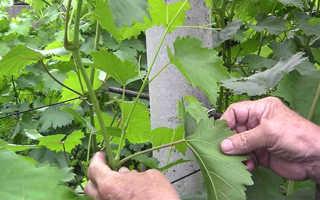 Цель летней обрезки виноградных кустов
