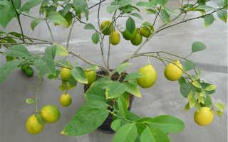 Лимон лисбон описание
