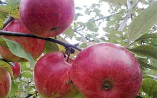 Яблоня юный натуралист описание