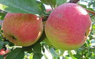 Сорт яблок медуница летняя