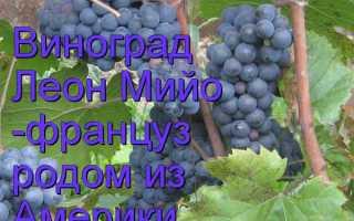 Виноградный сорт леон мийо обзор с описание и фото