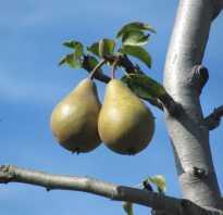 Почему не плодоносит груша причины что делать