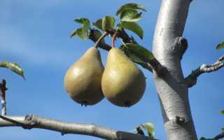 Что делать если груша не плодоносит