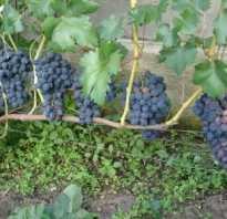 Характеристика винограда забава