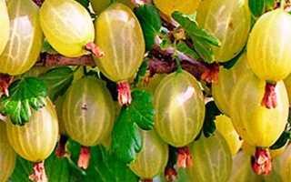 Плюсы и минусы сорта крыжовника малахит особенности его выращивания