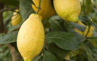 Описание лимона лунарио характеристика и советы по уходу